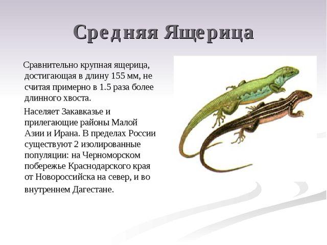 Средняя Ящерица Сравнительно крупная ящерица, достигающая в длину 155 мм, не...