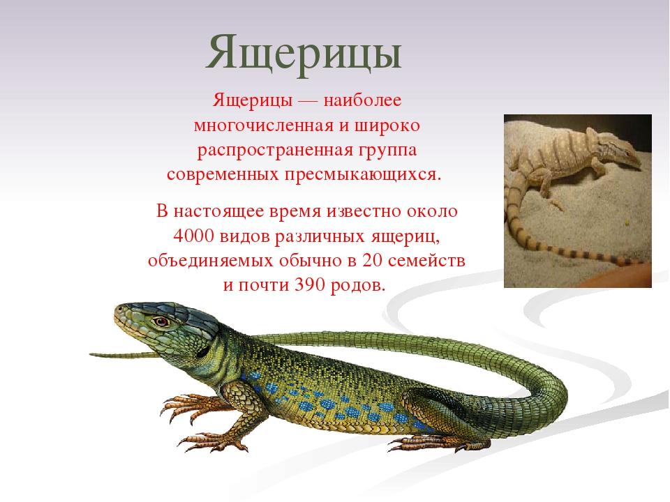 Ящерицы Ящерицы — наиболее многочисленная и широко распространенная группа со...