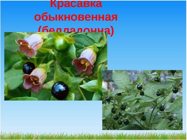 Красавка обыкновенная (белладонна)