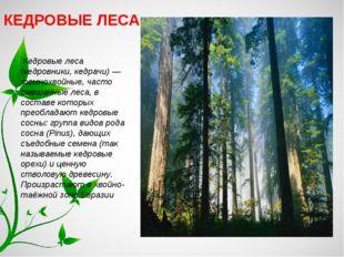 КЕДРОВЫЕ ЛЕСА Кедровые леса (кедровники, кедрачи) — темнохвойные, часто смеша