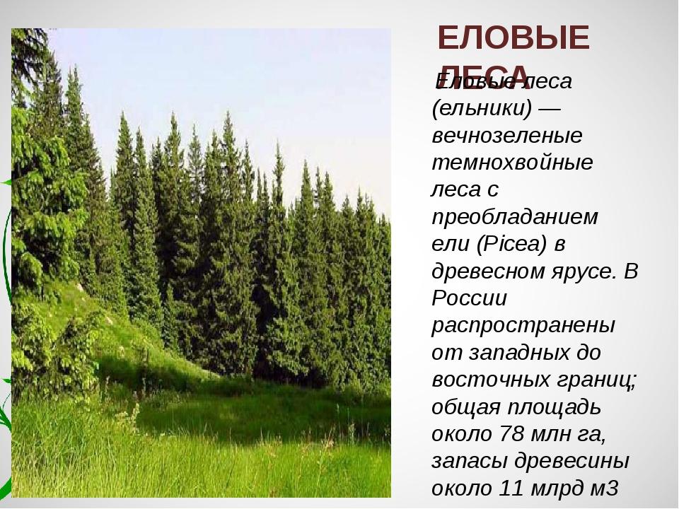 ЕЛОВЫЕ ЛЕСА Еловые леса (ельники) — вечнозеленые темнохвойные леса с преоблад...