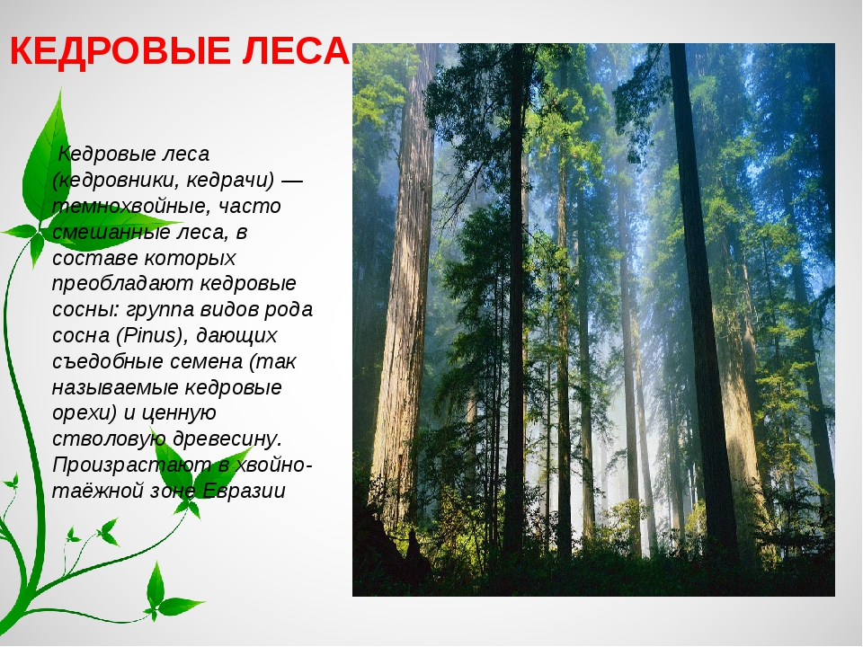 КЕДРОВЫЕ ЛЕСА Кедровые леса (кедровники, кедрачи) — темнохвойные, часто смеша...