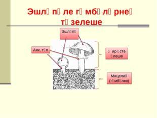 Эшләпә Аяк, төп Җир өсте өлеше Мицелий (гөмбәлек) Эшләпәле гөмбәләрнең төзелеше