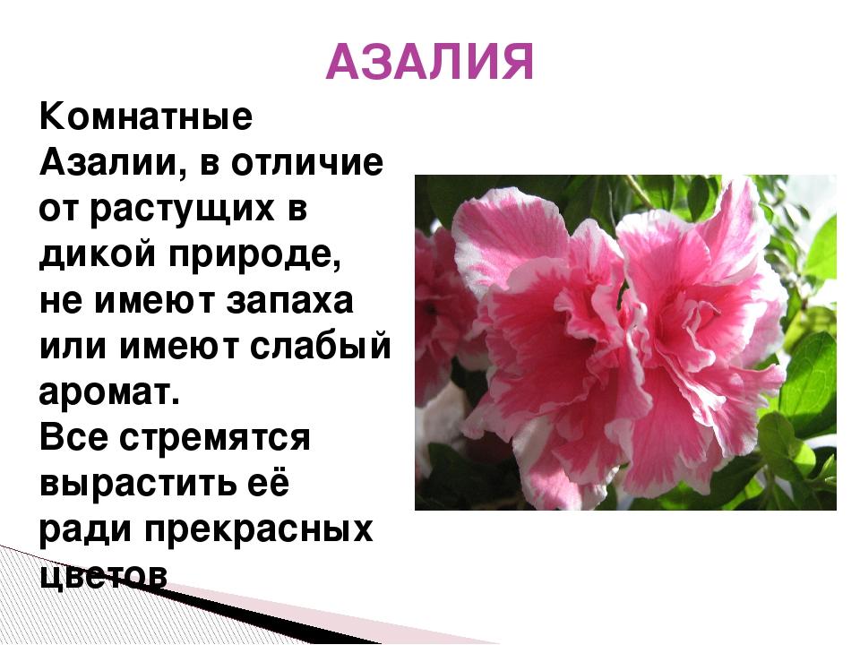 АЗАЛИЯ Комнатные Азалии, в отличие от растущих в дикой природе, не имеют запа...