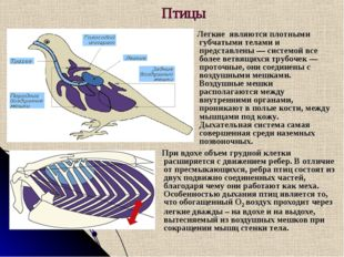 Птицы Легкие являются плотными губчатыми телами и представлены — системой вс