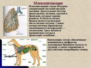 Млекопитающие Млекопитающие также обладают совершенной системой органов дыхан