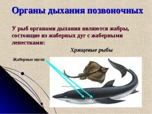Органы дыхания позвоночных У рыб органами дыхания являются жабры, состоящие и