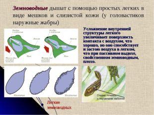 Земноводные дышат с помощью простых легких в виде мешков и слизистой кожи (у
