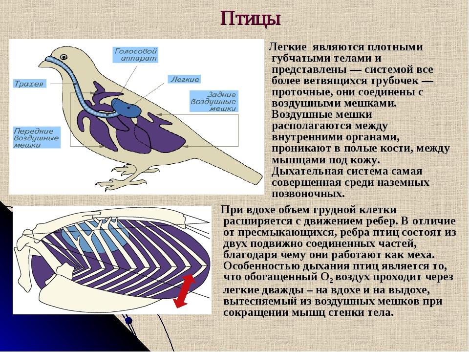Птицы Легкие являются плотными губчатыми телами и представлены — системой вс...