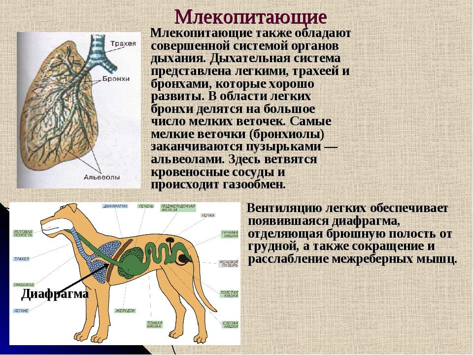 Млекопитающие Млекопитающие также обладают совершенной системой органов дыхан...