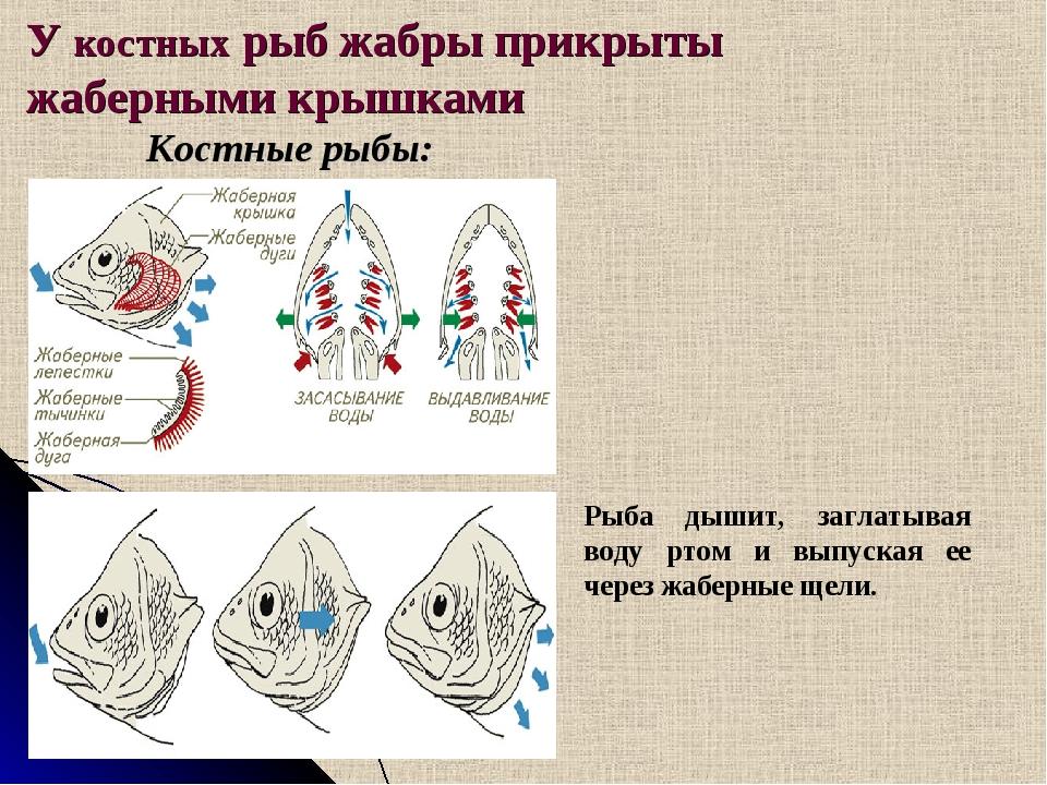 У костных рыб жабры прикрыты жаберными крышками Костные рыбы: Рыба дышит, заг...