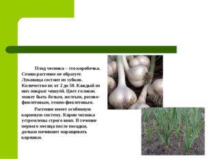 Плод чеснока – это коробочка. Семян растение не образует. Луковица состоит и
