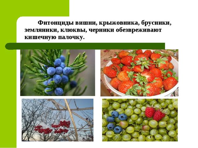 Фитонциды вишни, крыжовника, брусники, земляники, клюквы, черники обезврежив...