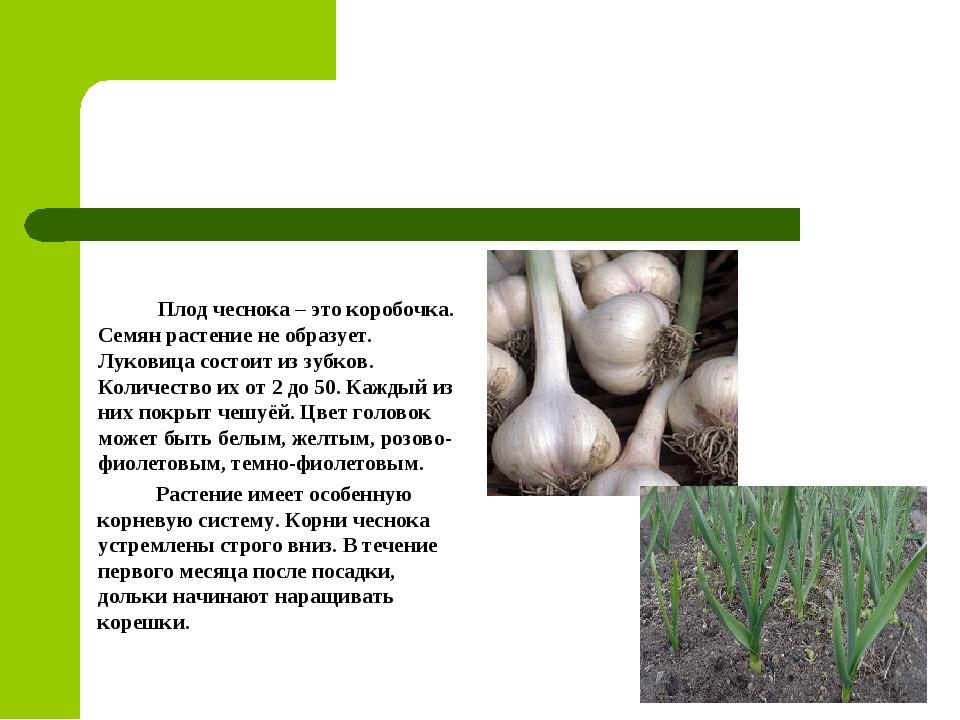 Плод чеснока – это коробочка. Семян растение не образует. Луковица состоит и...