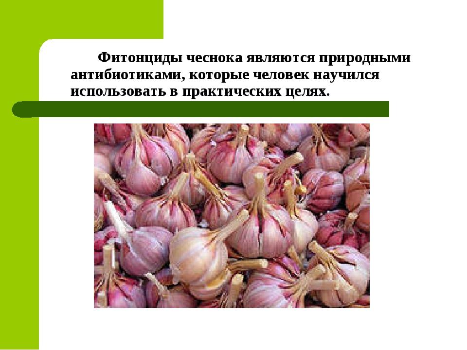 Фитонциды чеснока являются природными антибиотиками, которые человек научилс...