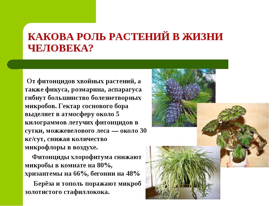 КАКОВА РОЛЬ РАСТЕНИЙ В ЖИЗНИ ЧЕЛОВЕКА? От фитонцидов хвойных растений, а такж...