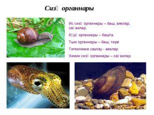 Сизү органнары Ис сизү органнары – баш, аяклар, саңаклар. Күрү органнары – ба