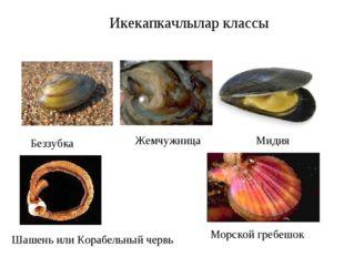 Икекапкачлылар классы Беззубка Жемчужница Мидия Шашень или Корабельный червь