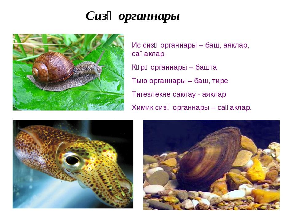 Сизү органнары Ис сизү органнары – баш, аяклар, саңаклар. Күрү органнары – ба...