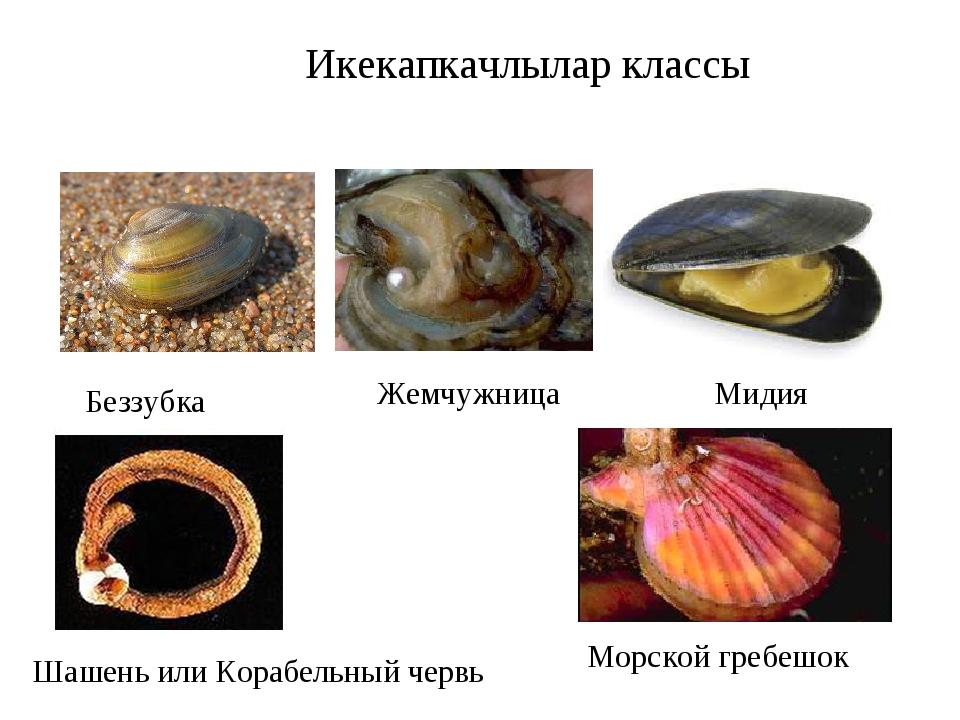 Икекапкачлылар классы Беззубка Жемчужница Мидия Шашень или Корабельный червь...
