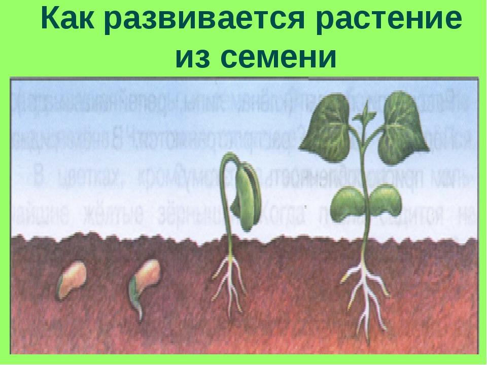 01.12.13 * Как развивается растение из семени