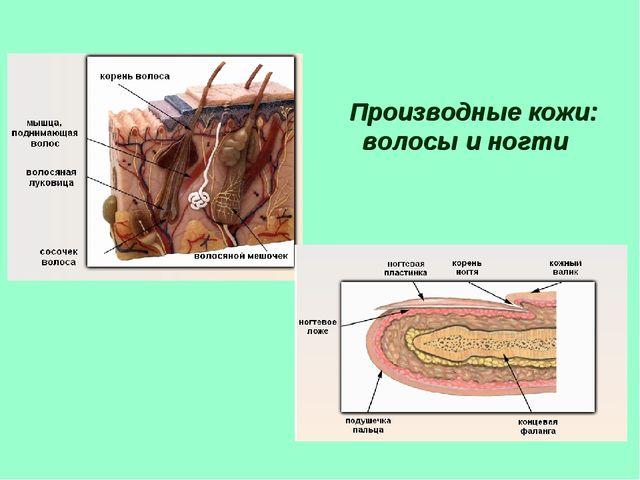 Производные кожи: волосы и ногти