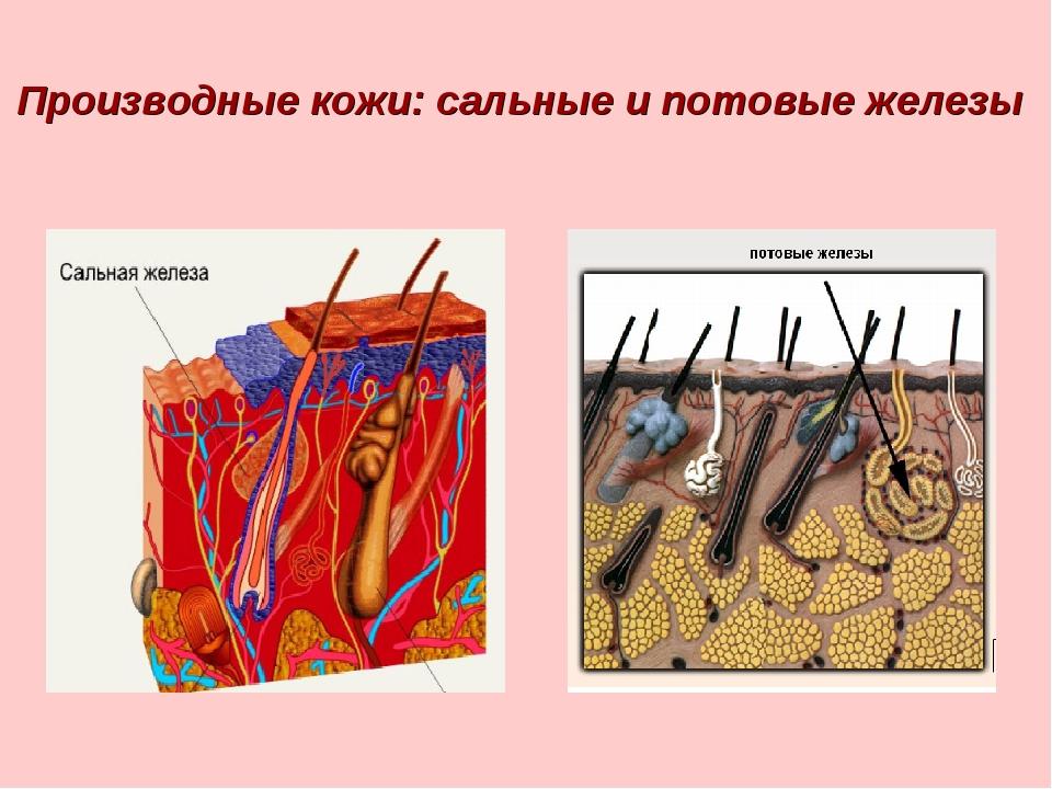 Производные кожи: сальные и потовые железы