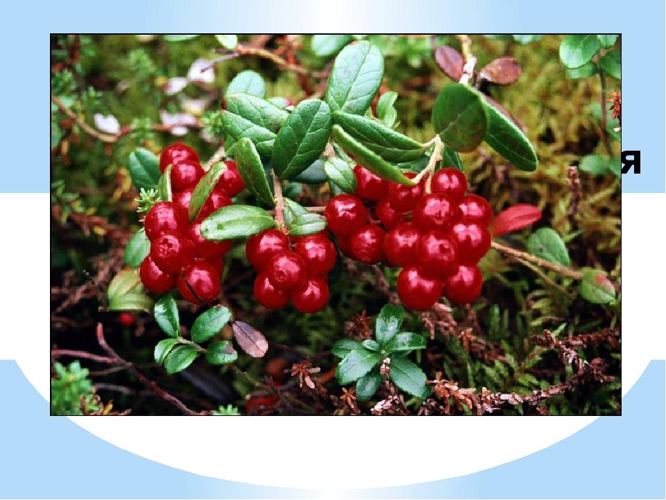 Лекарственные растения брусника кратко фото