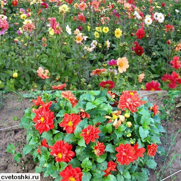 Цветы однолетние в сибири с описанием сортов и