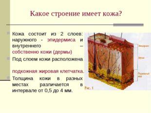 Кожа состоит из 2 слоев: наружного - эпидермиса и внутреннего – собственно ко
