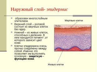 Наружный слой- эпидермис образован многослойным эпителием. Верхний слой – рог