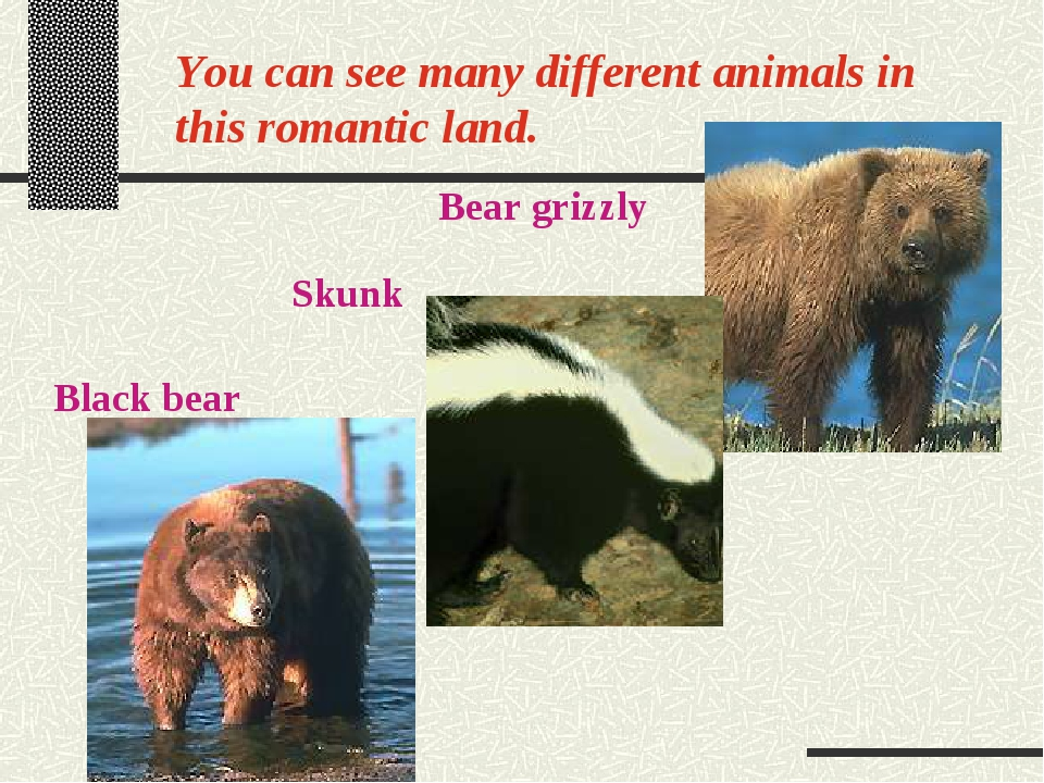 You can see many different animals in this romantic land. Bear grizzly Skunk...