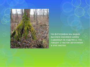 На фотографии мы видим высокую корневую шейку («деревья на ходулях»), что гов