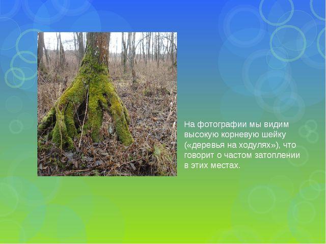 На фотографии мы видим высокую корневую шейку («деревья на ходулях»), что гов...