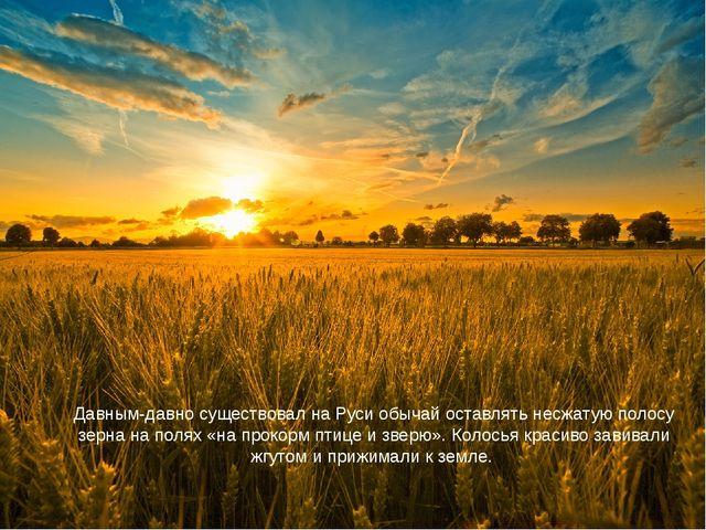 Давным-давно существовал на Руси обычай оставлять несжатую полосу зерна на по...