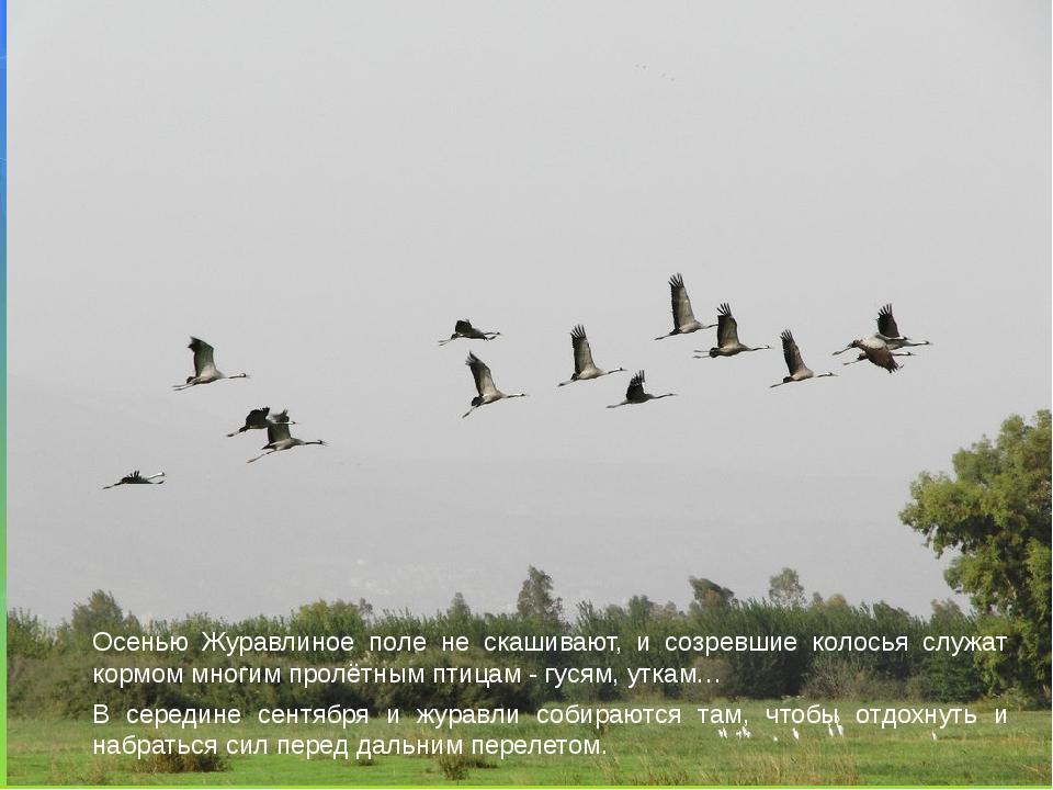 Осенью Журавлиное поле не скашивают, и созревшие колосья служат кормом многим...