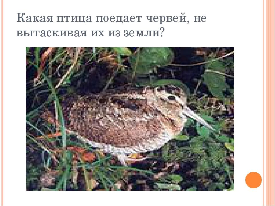 Какая птица поедает червей, не вытаскивая их из земли?