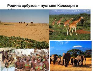 Родина арбузов – пустыня Калахари в Африке.