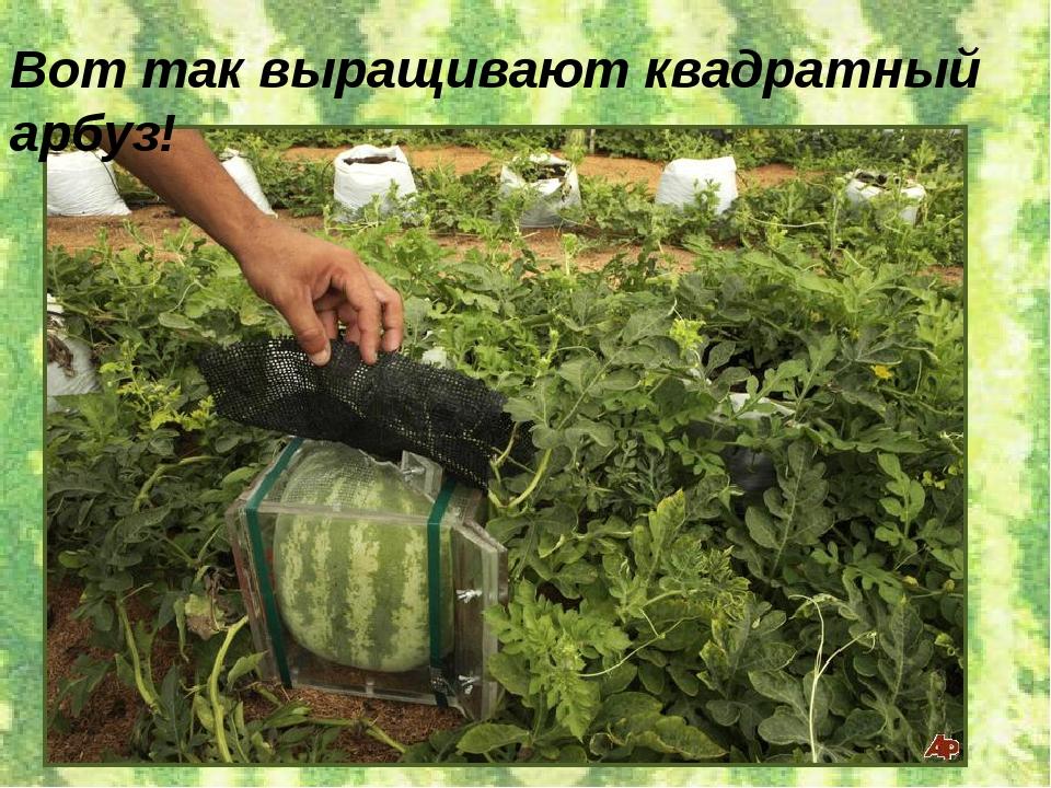 Вот так выращивают квадратный арбуз!