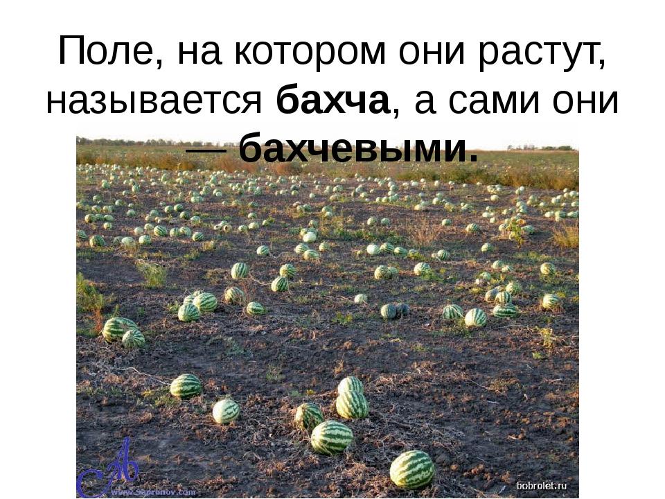 Поле, на котором они растут, называется бахча, а сами они — бахчевыми.