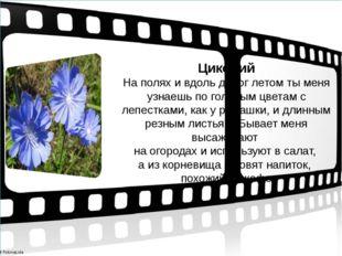 Цикорий На полях и вдоль дорог летом ты меня узнаешь по голубым цветам с леп