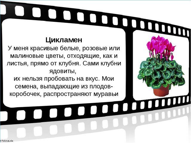 Цикламен У меня красивые белые, розовые или малиновые цветы, отходящие, как и...