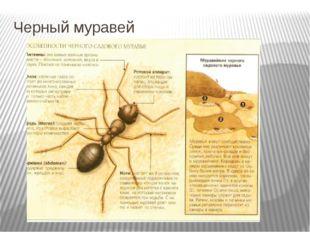 Черный муравей