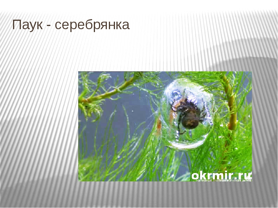 Паук - серебрянка