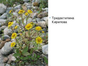Тридактилина Кирилова