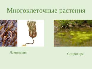 Многоклеточные растения Ламинария Спирогира