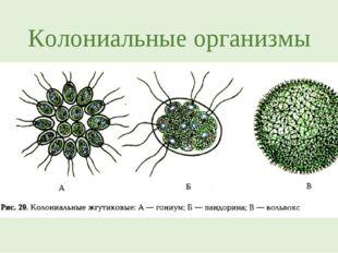 Колониальные организмы