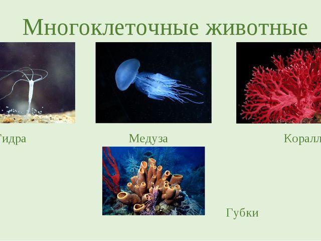 Многоклеточные животные Гидра Медуза Кораллы Губки