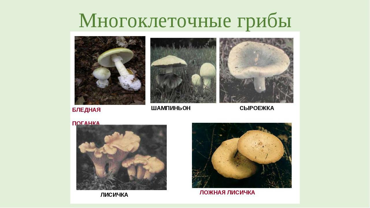 Многоклеточные грибы