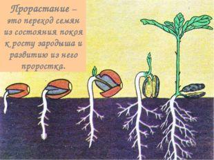 Прорастание – это переход семян из состояния покоя к росту зародыша и развити